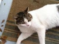 Domestic Short Hair - E.t. - Medium - Adult - Male -