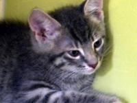 Domestic Short Hair - Earl - Medium - Baby - Male -