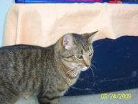 Domestic Short Hair - Edward - Medium - Adult - Male -