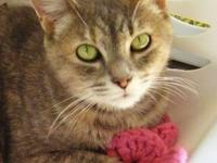Domestic Short Hair - Elaine - Medium - Adult - Female