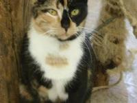 Domestic Short Hair - Elizabeth - Medium - Adult -