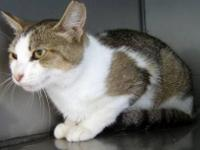Domestic Short Hair - Emma - Small - Adult - Female -