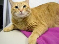 Domestic Short Hair - Eshon - Large - Adult - Male -