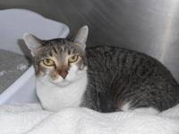 Domestic Short Hair - Eva - Small - Adult - Female -