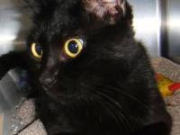 Domestic Short Hair - Evie - Small - Young - Female -