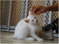 Domestic Short Hair - Exployer - Small - Young - Male -