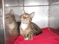 Domestic Short Hair - F.h. (free) - Medium - Adult -