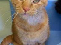 Domestic Short Hair - Felix - Medium - Adult - Male -