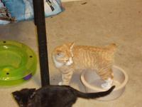 Domestic Short Hair - Feral Kitten 2 - Small - Baby -