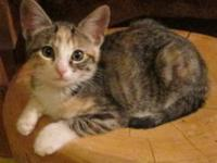 Domestic Short Hair - Fiona - Medium - Baby - Female -