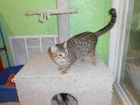 Domestic Short Hair - Fiona - Medium - Young - Female -