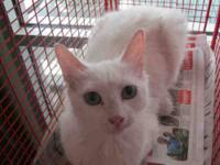 Domestic Short Hair - Florida - Medium - Adult - Female