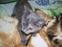 Domestic Short Hair - Foxy - Medium - Baby - Female -