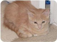 Domestic Short Hair - Frank - Small - Young - Male -
