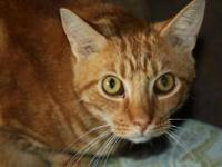 Domestic Short Hair - Frankie (11-273) - Large - Adult