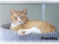 Domestic Short Hair - Freckles - Large - Adult - Male -