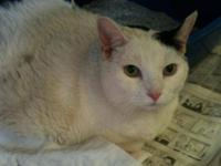 Domestic Short Hair - Fred - Extra Large - Senior -