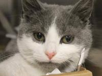 Domestic Short Hair - Fred - Small - Young - Male -