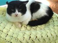 Domestic Short Hair - Freddy - Medium - Adult - Male -