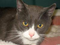 Domestic Short Hair - Freddy - Medium - Young - Male -