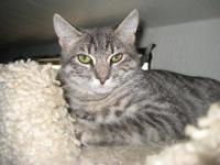 Domestic Short Hair - Furman* - Large - Young - Male -