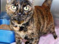 Domestic Short Hair - Gabbi - Medium - Adult - Female -
