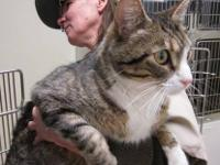 Domestic Short Hair - Gary - Extra Large - Adult - Male