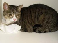 Domestic Short Hair - Gary - Large - Adult - Male -