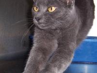 Domestic Short Hair - Gary - Medium - Young - Female -