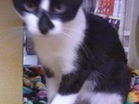 Domestic Short Hair - Gary - Medium - Young - Male -