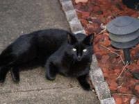 Domestic Short Hair - Gary - Small - Adult - Male -