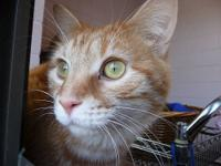 Domestic Short Hair - Gary - Small - Young - Male -