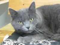 Domestic Short Hair - Gem - Medium - Young - Female -