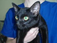 Domestic Short Hair - George - Medium - Adult - Male -