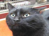 Domestic Short Hair - Gilbert - Medium - Young - Male -