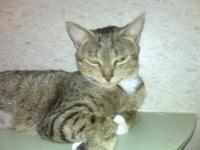 Domestic Short Hair - Gilda - Medium - Adult - Female -