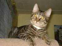 Domestic Short Hair - Gilligan - Medium - Young - Male