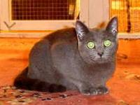 Domestic Short Hair - Gin Gin - Small - Young - Female