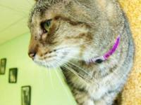 Domestic Short Hair - Ginger - Medium - Adult - Female