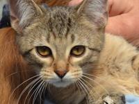 Domestic Short Hair - Gino - Medium - Baby - Male -