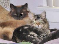 Domestic Short Hair - Gizmo (private Adoption - Large -