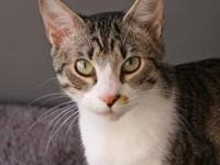 Domestic Short Hair - Glen - Small - Adult - Male -