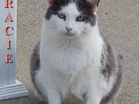 Domestic Short Hair - Gracie - Small - Adult - Female -