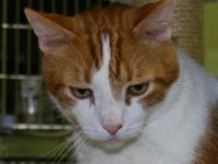 Domestic Short Hair - Grant - Extra Large - Senior -