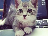 Domestic Short Hair - Gray - Abby - Small - Young -