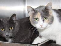 "Domestic Short Hair - Gray ""Sammy & Sassy"" are"