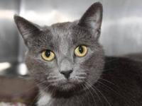 "Domestic Short Hair - Gray ""Sammy"" is a beautiful"