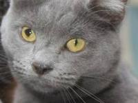 Domestic Short Hair - Gray Grayson qualifes for our new