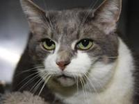 "Domestic Short Hair - Gray and white ""Misty"" is a"