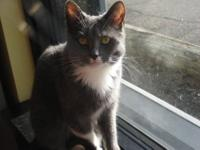 Domestic Short Hair - Gray and white - Amy - Large -